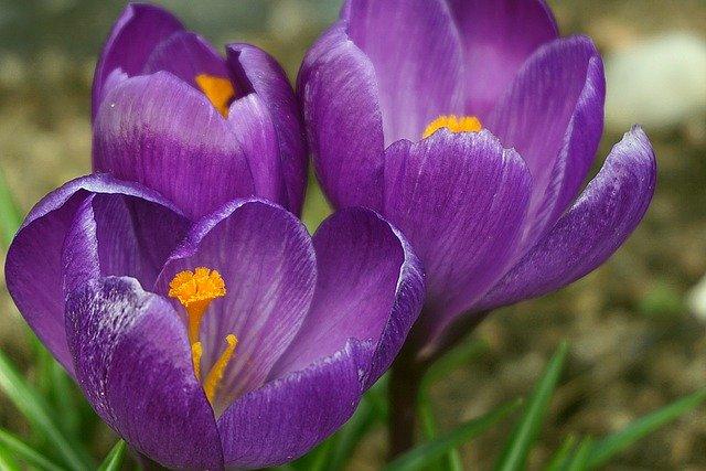 crocuses-purple-4968278_640